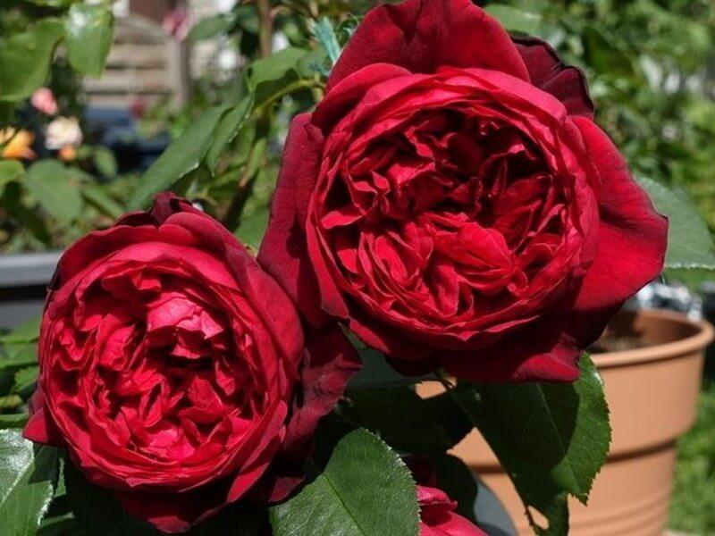 Admiral — помпезная чайно-гибридная роза сочного алого цвета от Tantau