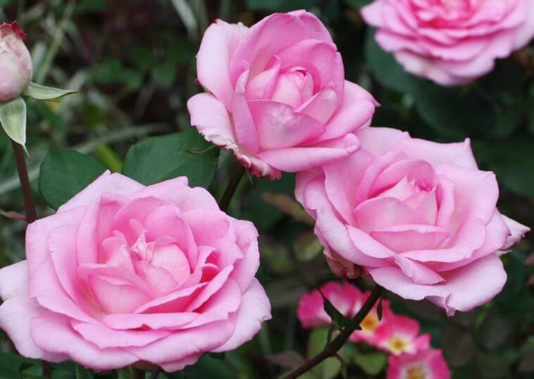 Беверли роза