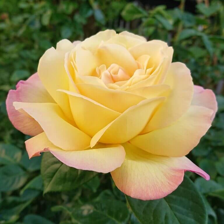 Глория Дей - мои первые розы