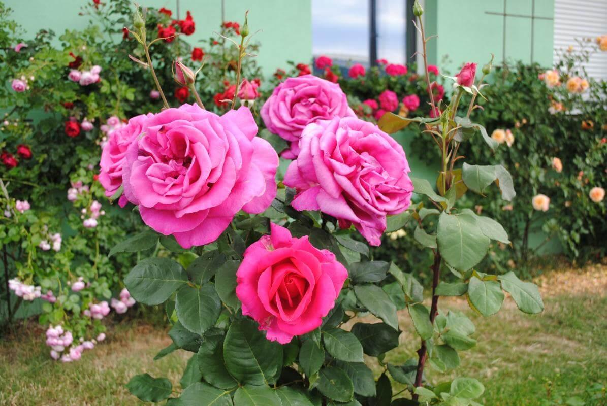 Пароле (Parole) — роза необычной красоты, сильнорослый чайно-гибридный сорт