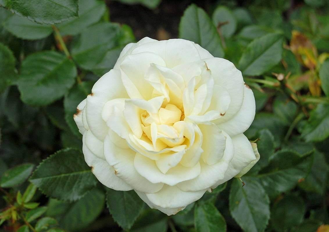 Мой муж любит белые розы, а я плетистые