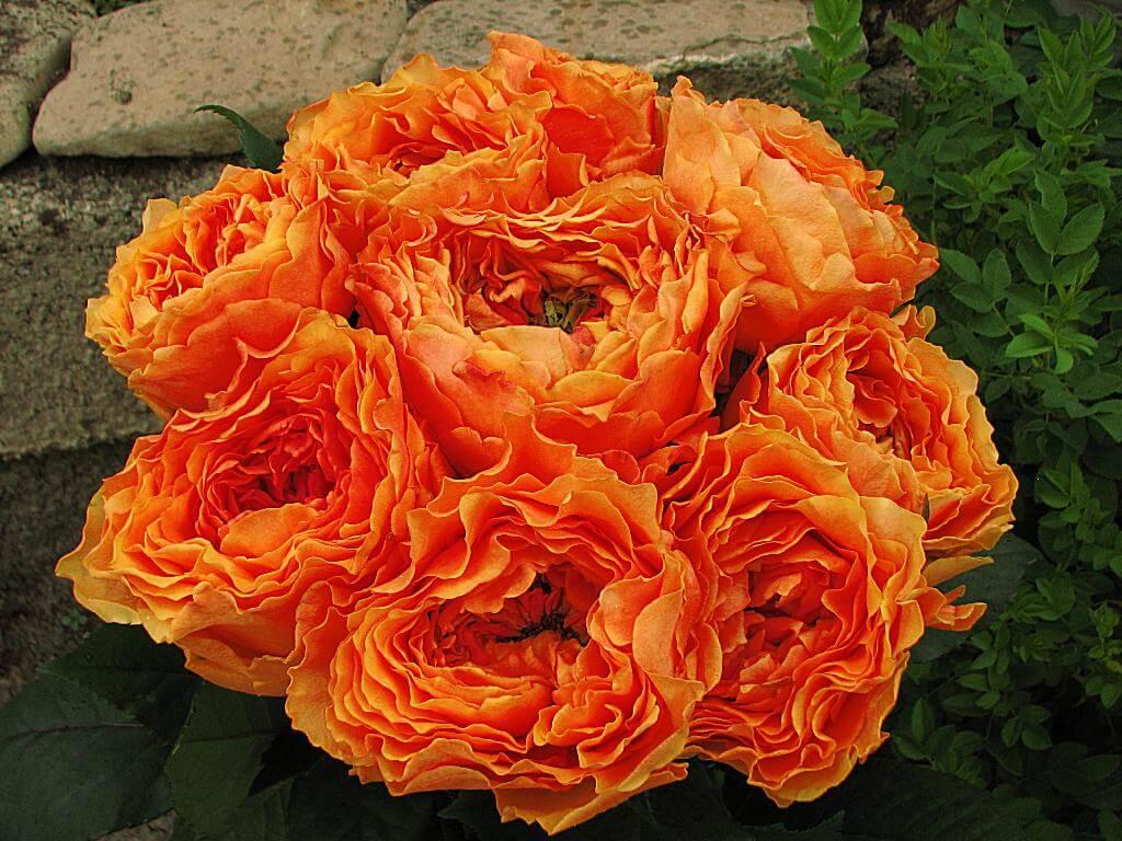 Каралуна (Caraluna) – роза с сильным иммунитетом к заболеваниям и прекрасным ароматом