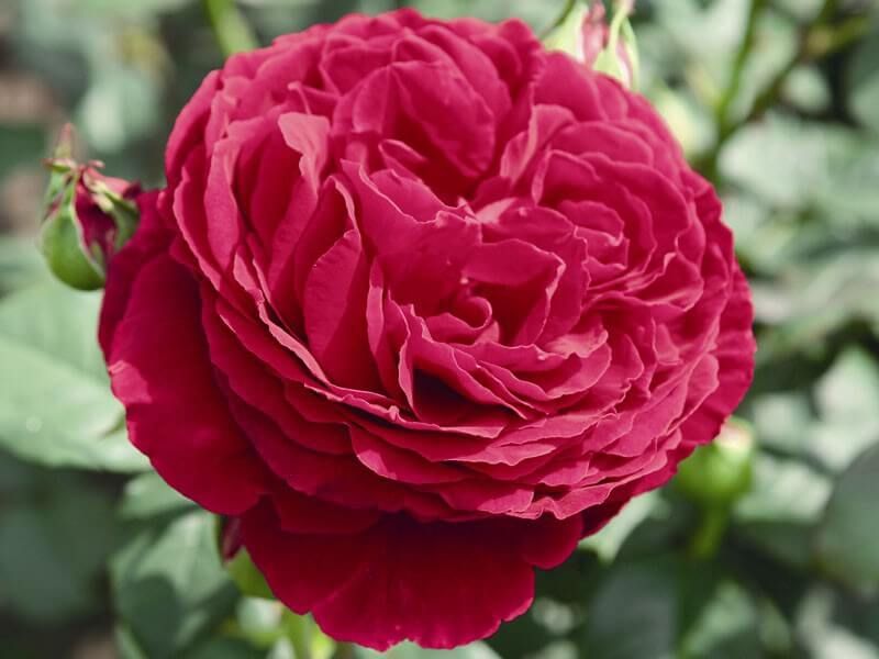 Госпел (Gospel) – роза-хамелеон с нежным ароматом