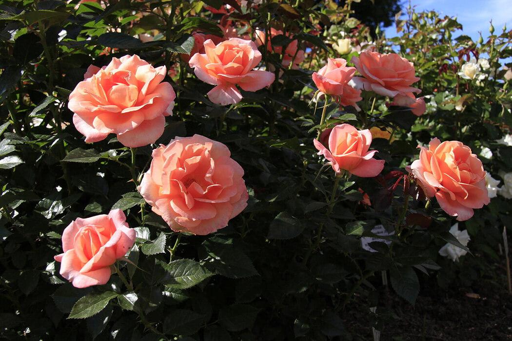 Rene Goscinny пышная роза от селекционеров дома Meiland