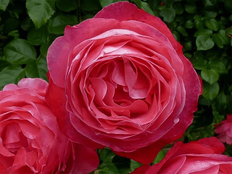 Rosanna плетистая роза - лучший вариант для вертикального озеленения