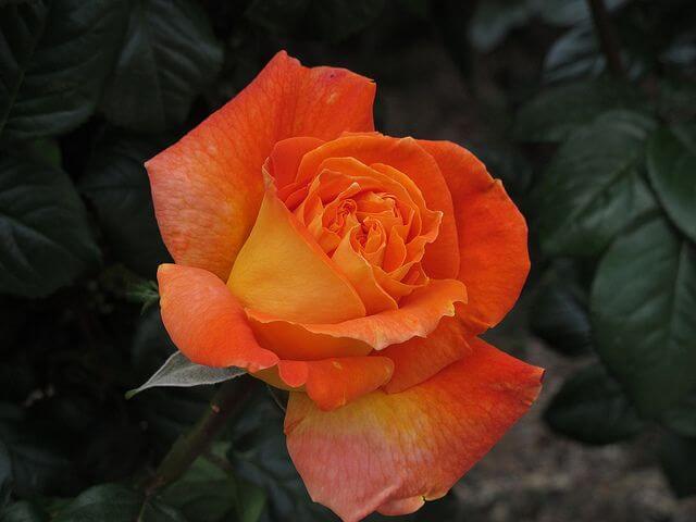 Роза сорта Луи де Фюнес