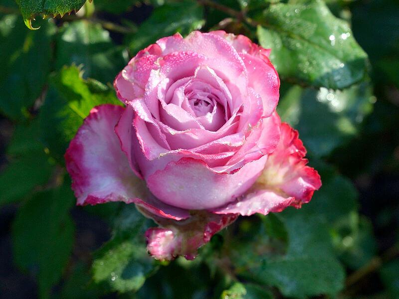 Deep Water чашевидная роза с крупными махровыми цветами