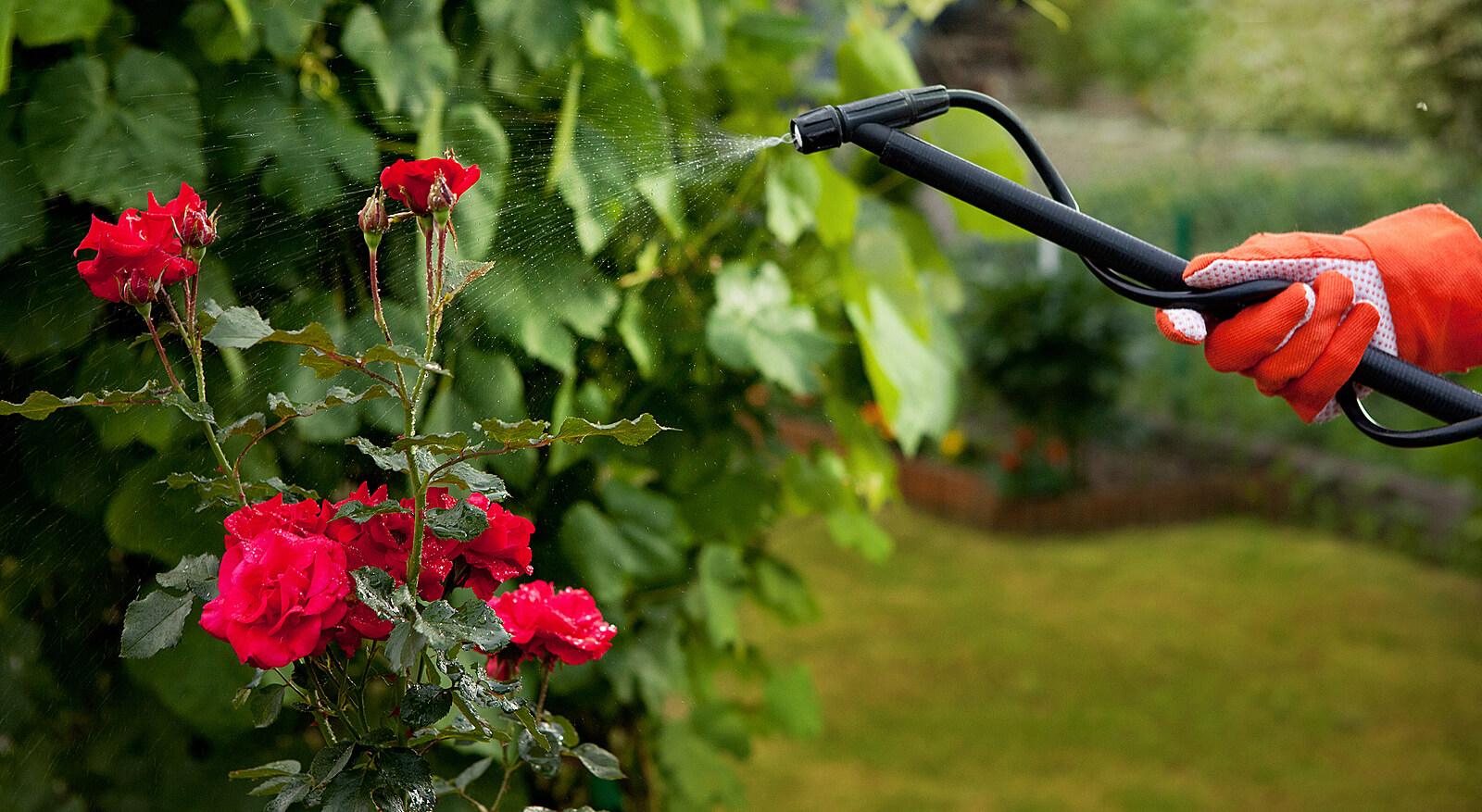 Как не допустить ошибок, при выращивании роз