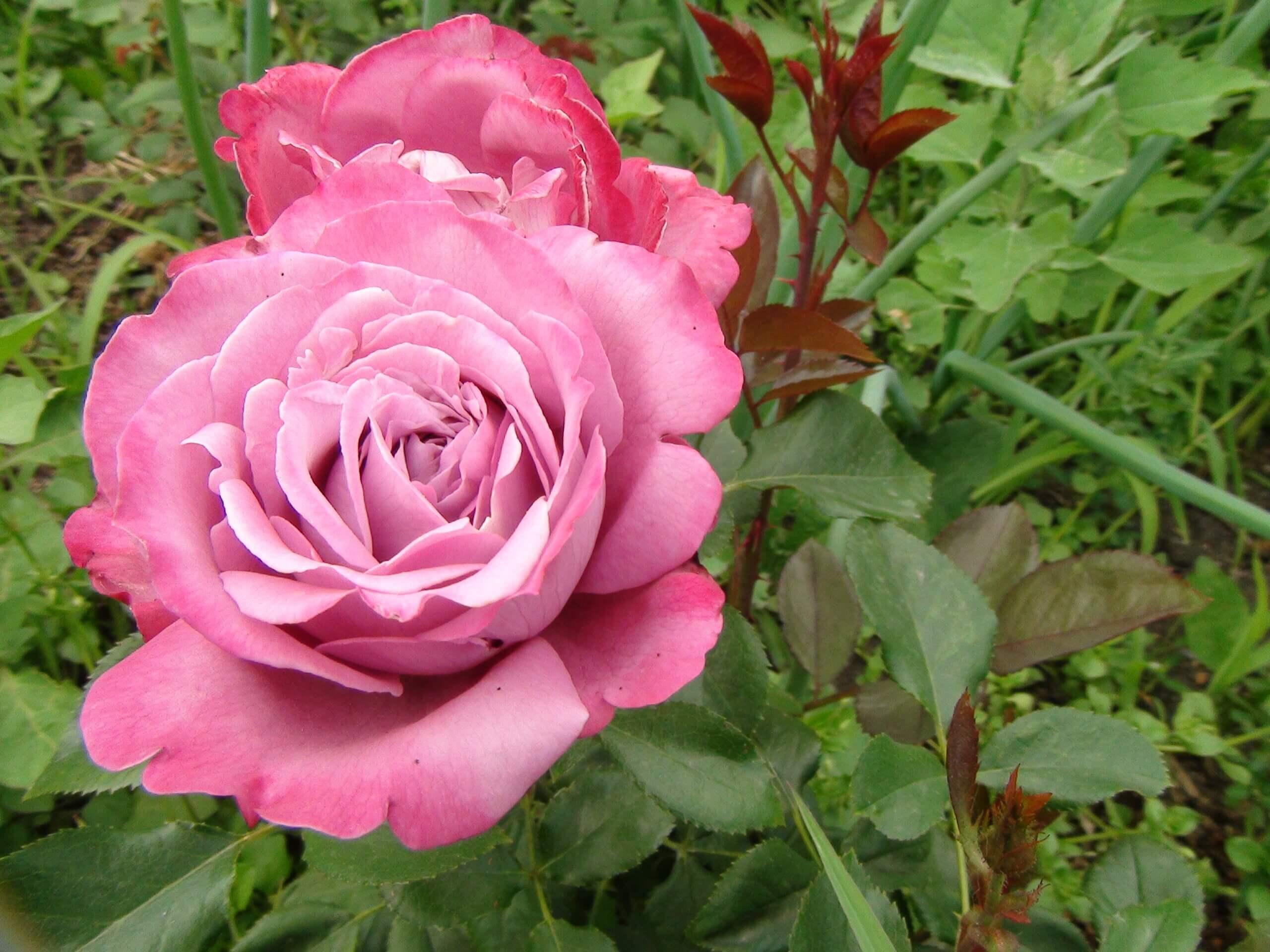 Blue River - роза с необычным окрасом и стойким сладким ароматом