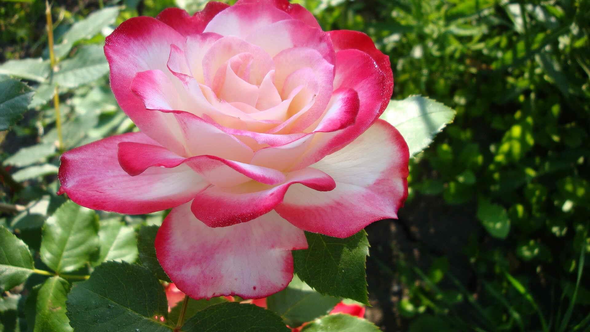 Jubile du Prince de Monaco - роза, совмещающая в себе лед и пламя