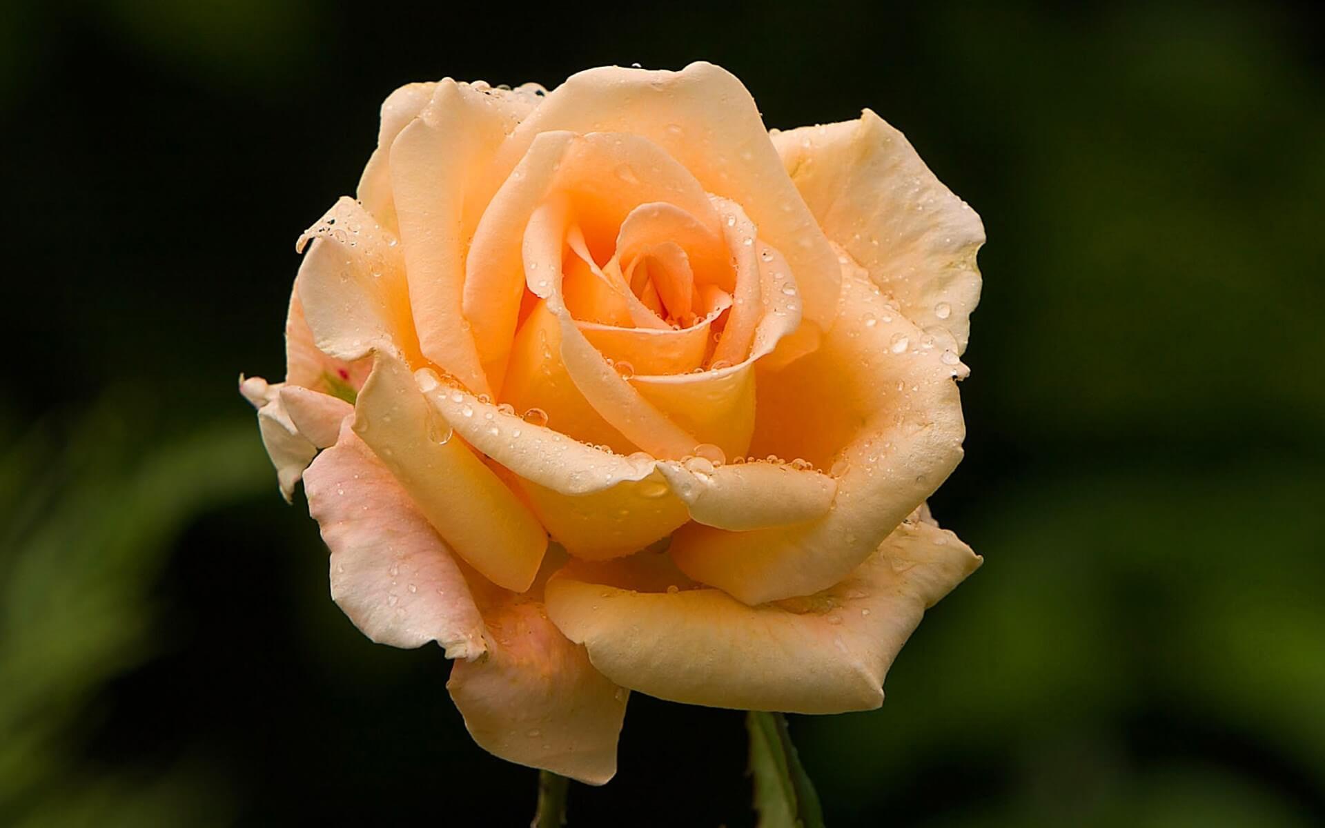 Как вырастить парковые и китайские розы в своем саду
