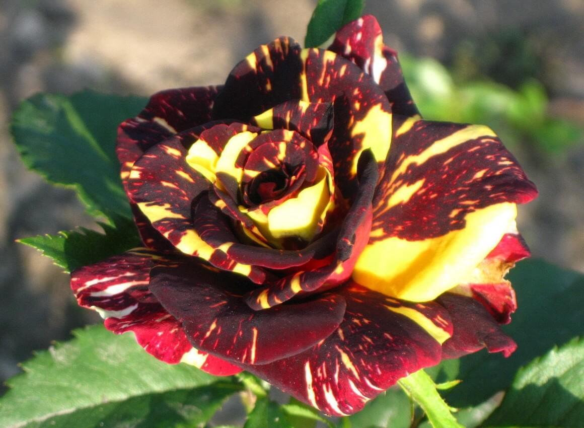 Hocus Pocus  - миниатюрная роза для срезки с нестандартной расцветкой и высокой морозоустойчивостью