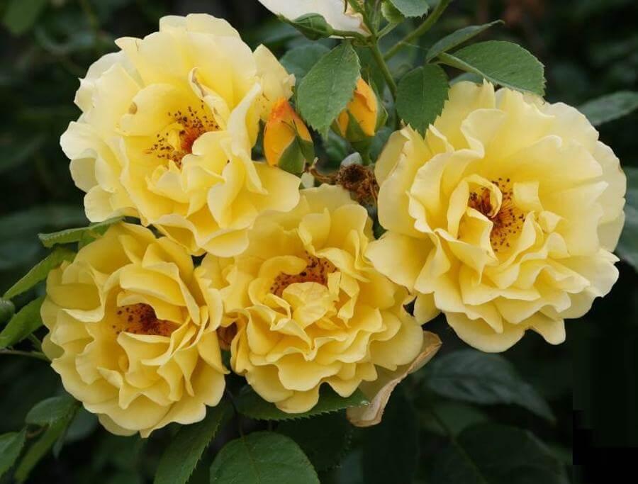 Golden Gate – красивый сорт розы с сильным сладким ароматом