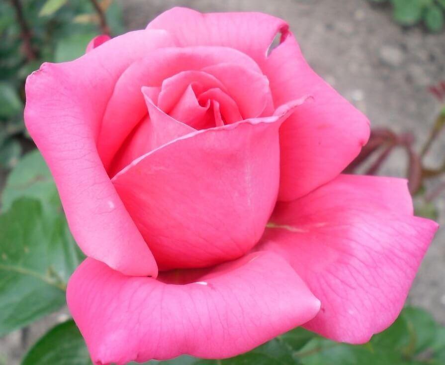 Shakira роза - яркий многолетник с легким ароматом