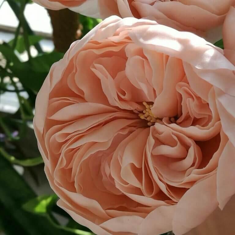 Как я выращивала розы Остина