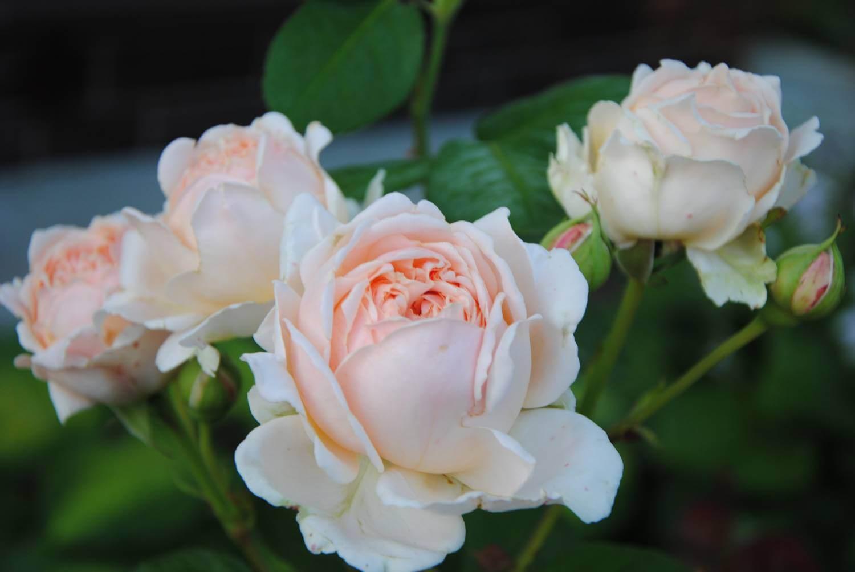 Antico Amore – пышная чайно-гибридная роза мягкого розового цвета от селекционера Barni