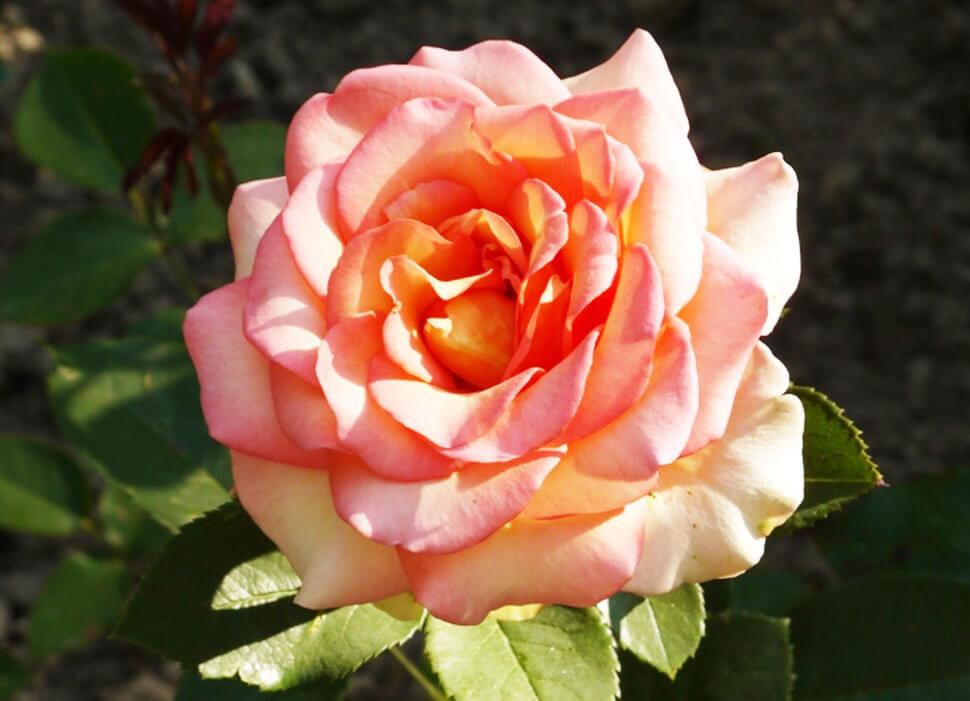 Fantasia Mondiale — роза от Kordes с двухтонной расцветкой