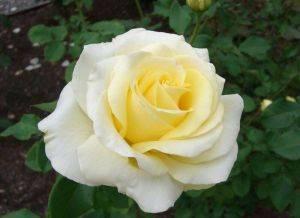 Мой опыт выращивания розы сорта Элина