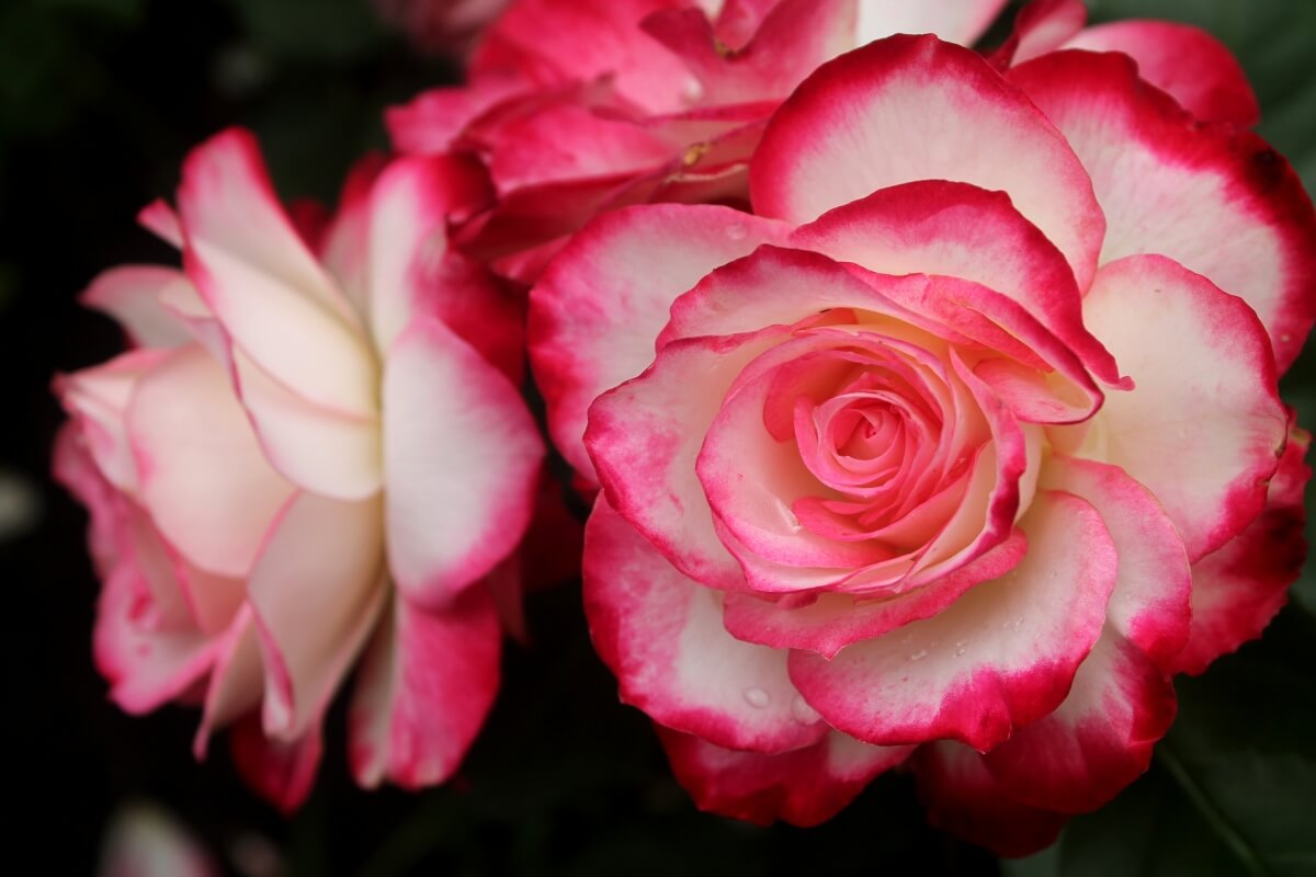 Юбилей Санкт-Петербурга роза