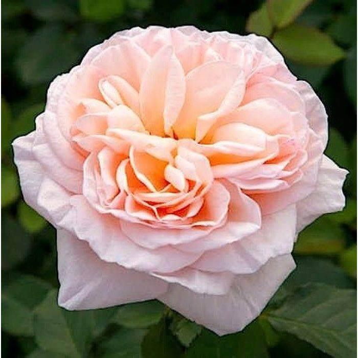 Способы лечения и профилактики южных сортов роз