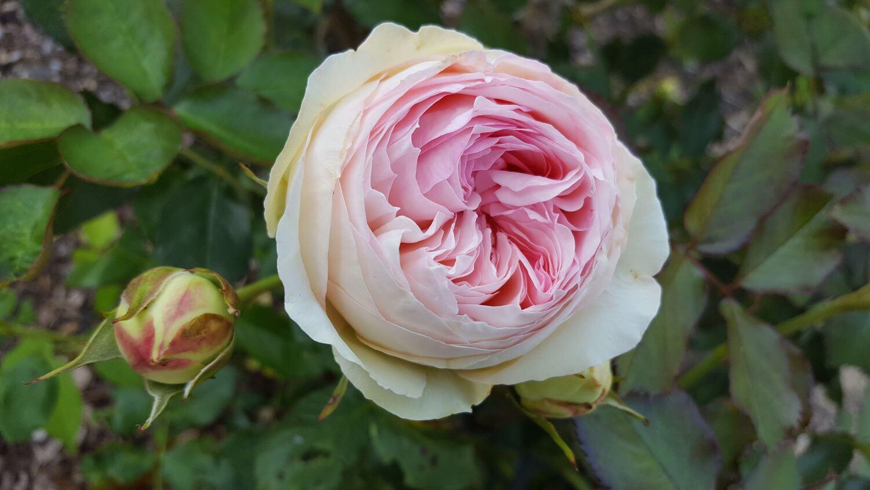 Роза- настоящая королева сада!