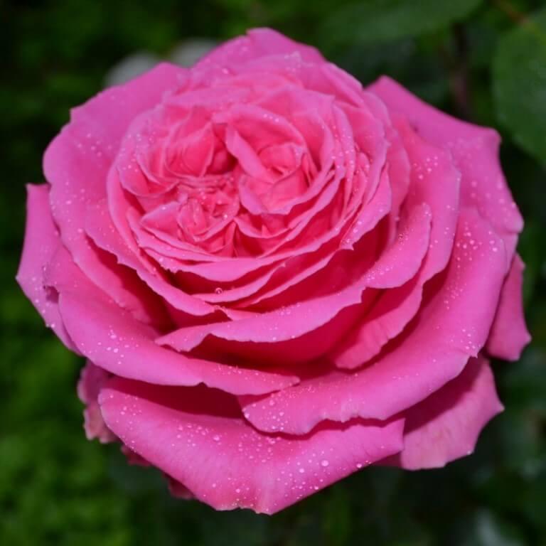 Auguste Renoir – милый и неприхотливый в уходе сорт роз