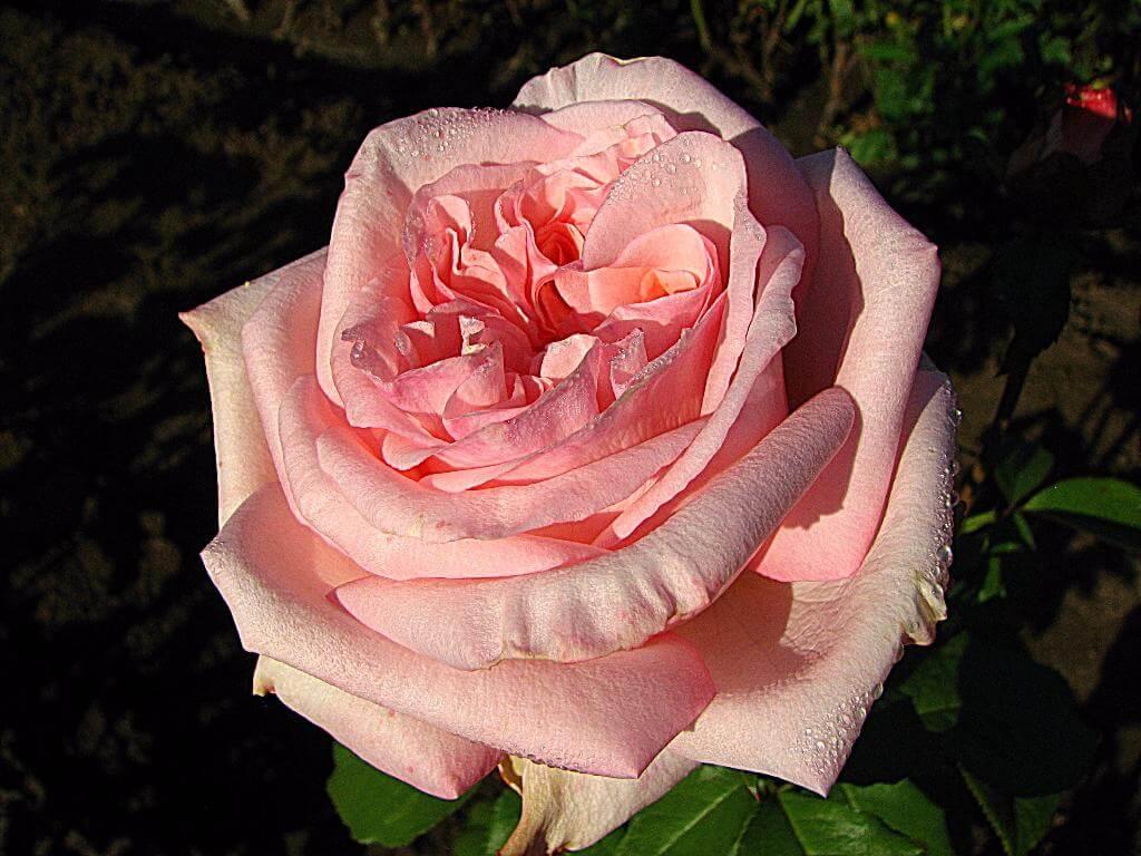 Охара Пинк роза