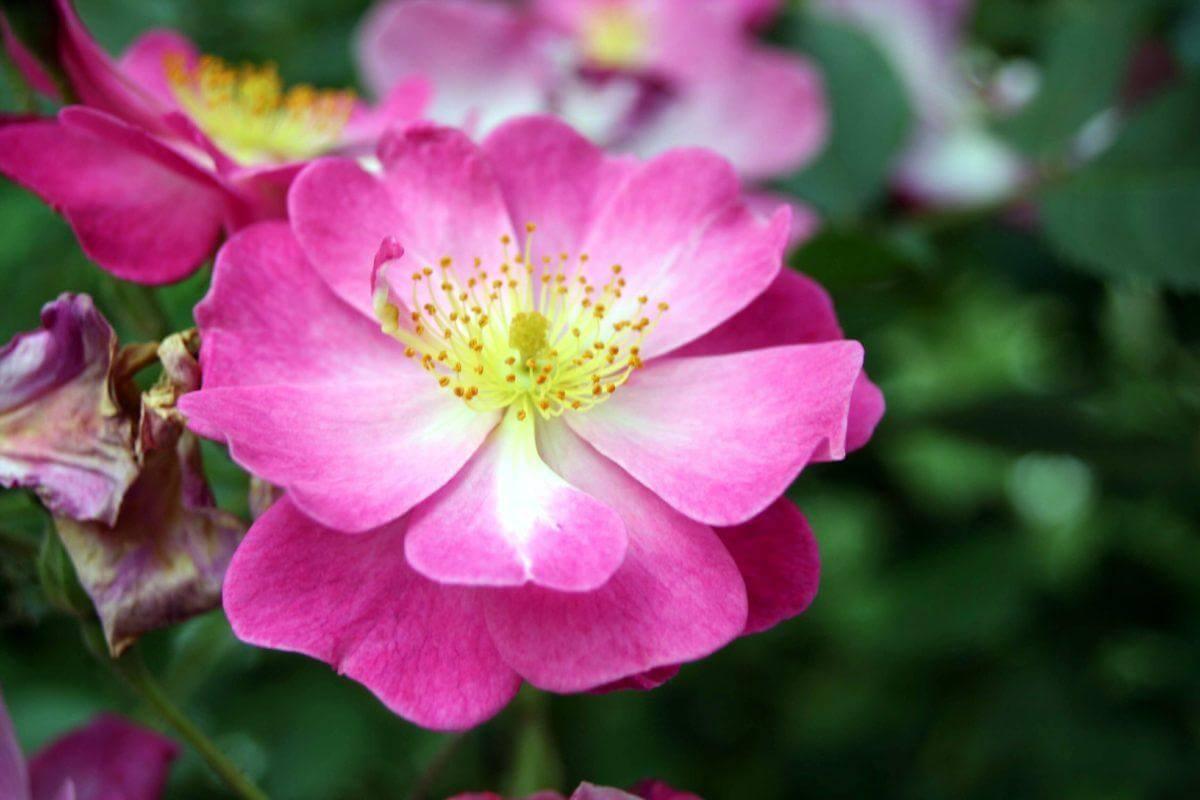 Lavender Dream - роза с небольшим количеством шипов и легким ароматом