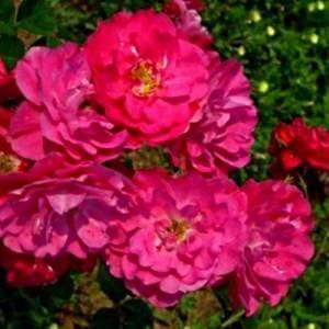 Джон Кебот - удивительно красивый сорт розы для всех