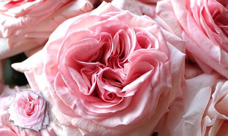 Pink O'Hara благоухающая роза для красивых букетов
