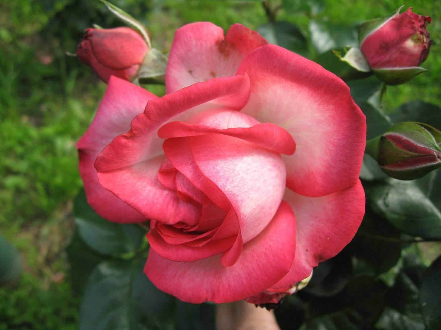 Antike 89 - плетистая роза, для новичков