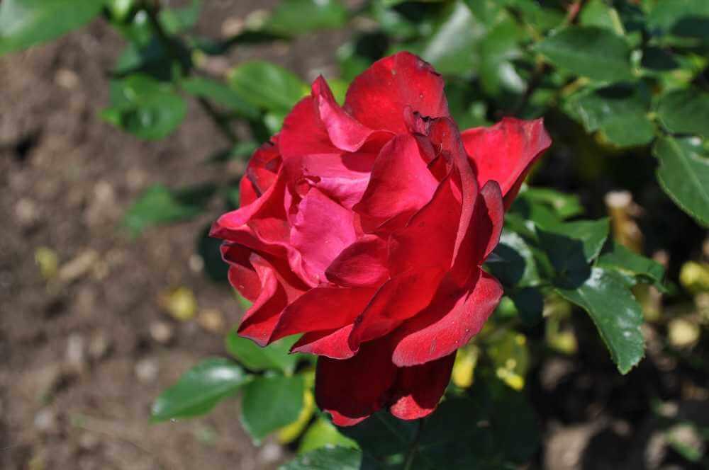 Tamango – роза-спрей насыщенного красного-малинового цвета, устойчивая к неблагоприятным условиям