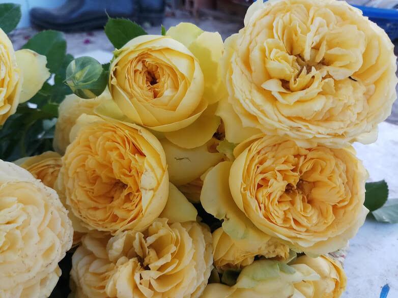 Роза Каталина