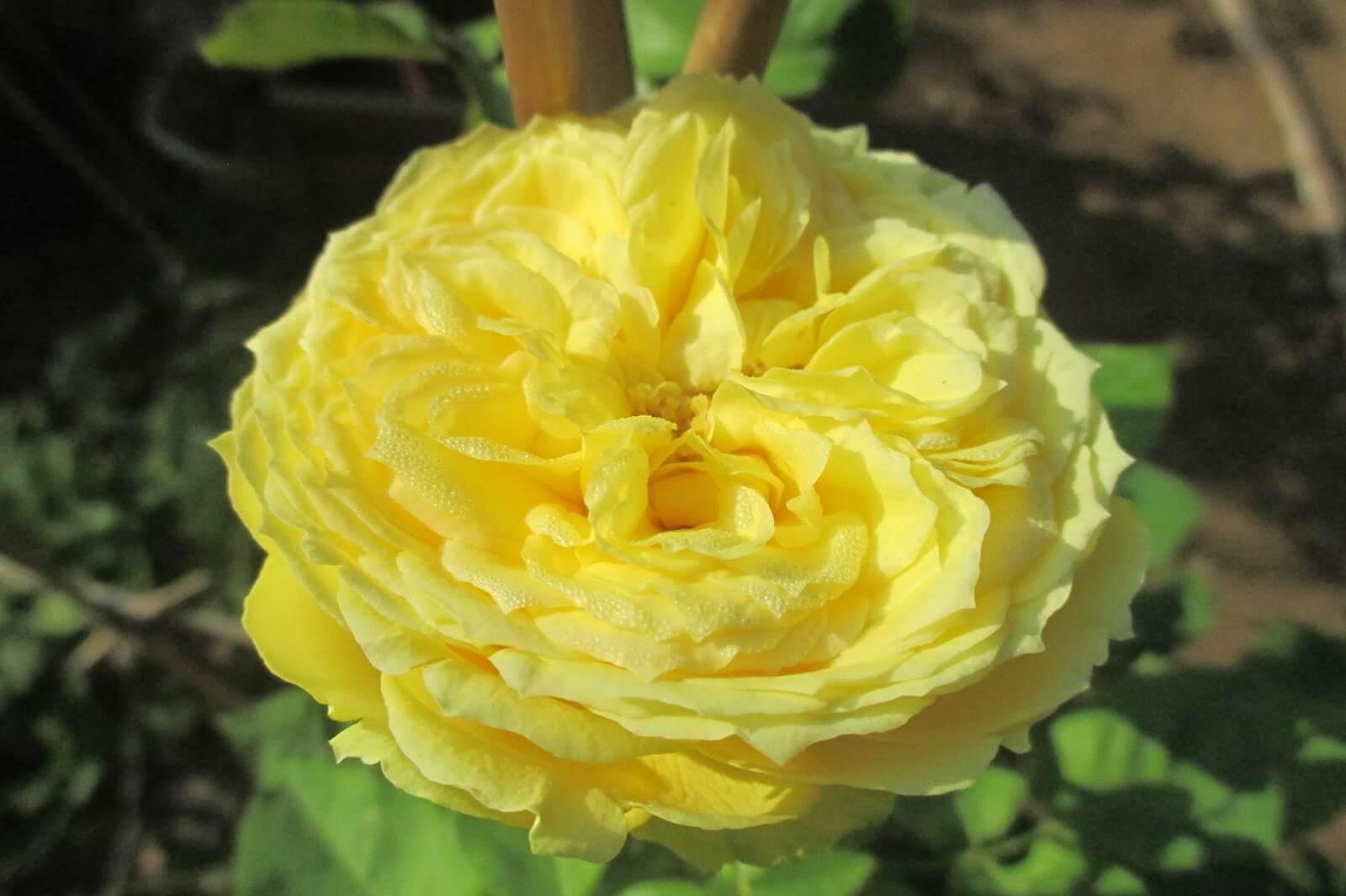 Katalina – сорт розы насыщенного лимонного оттенка, с высокой устойчивостью к заболеваниям
