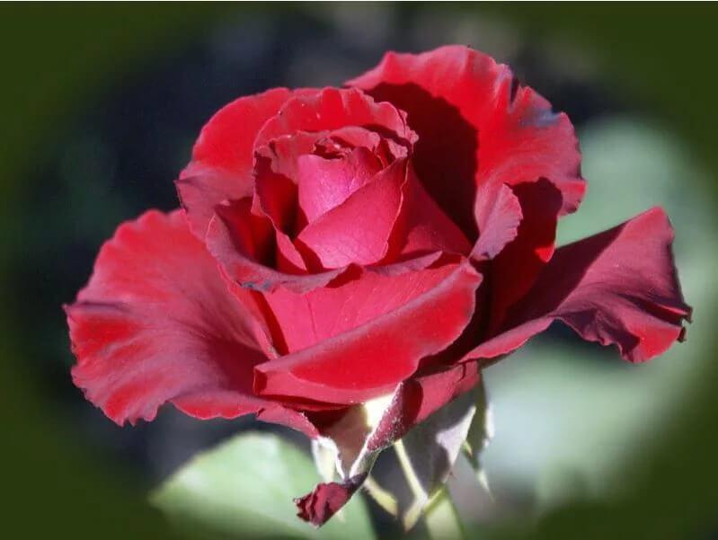Erotika роза - немецкая красавица ярко-красного цвета