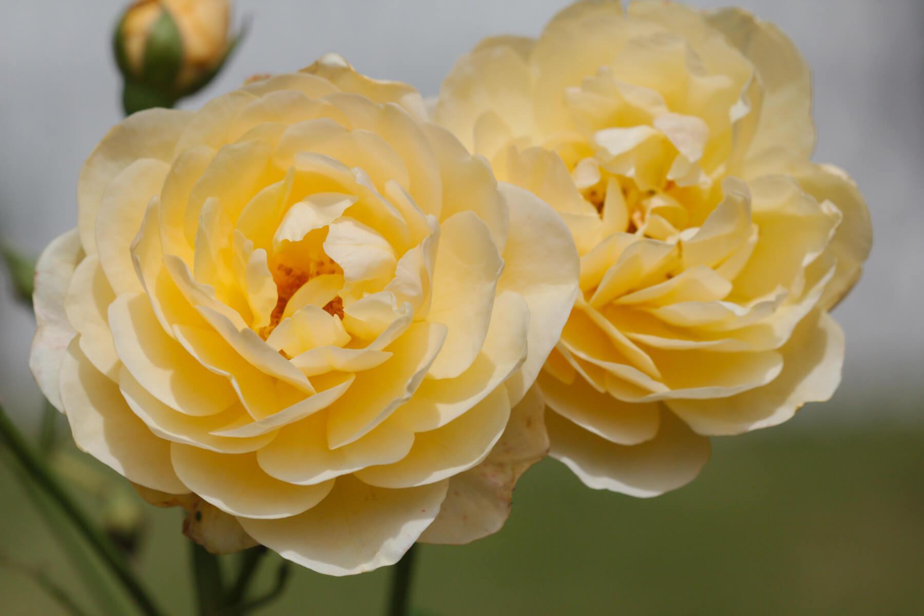 Graham Thomas — английская чайно-гибридная роза с насыщенным ароматом и яркой расцветкой