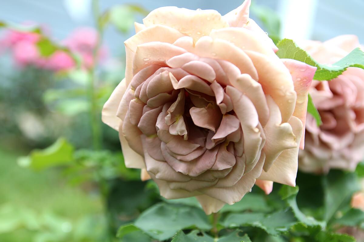 Koko Loko – пышная непрерывно цветущая роза