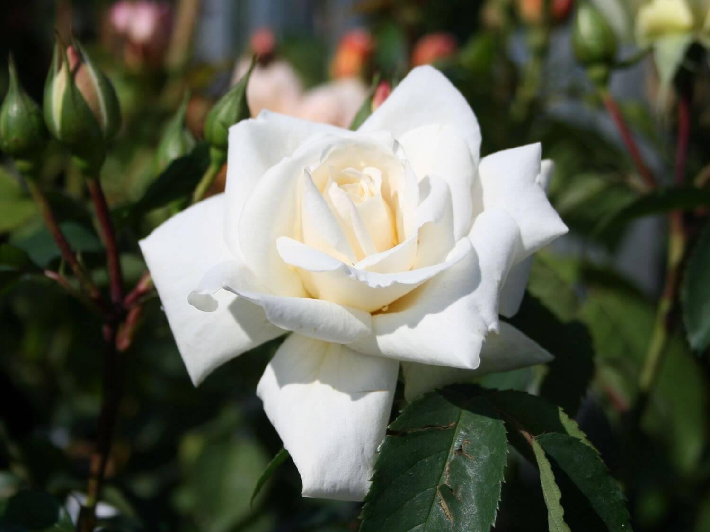 Ilse Krohn Superior - лучшая белая роза с крупными цветами и высокой морозостойкостью