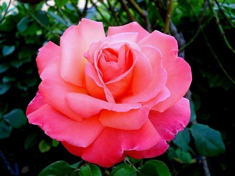 Christophe Colomb - чайно-гибридная роза  от селекционеров Meiland