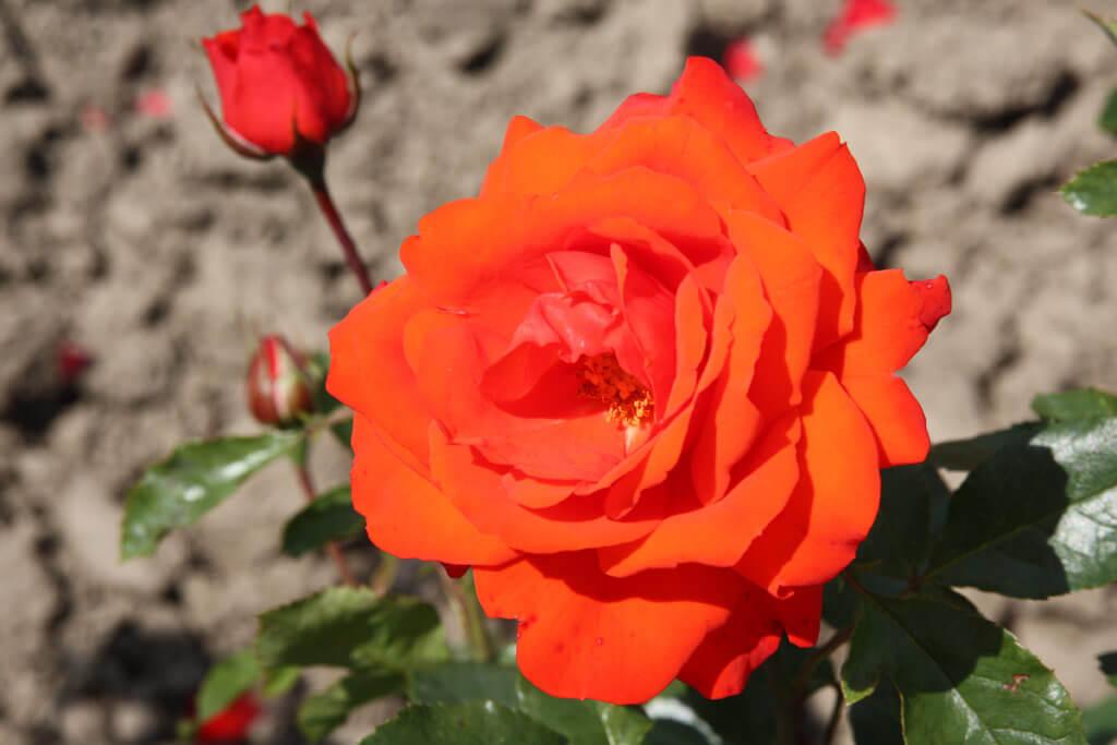 Kordes Brillant – красивый сорт роз, с продолжительным цветением