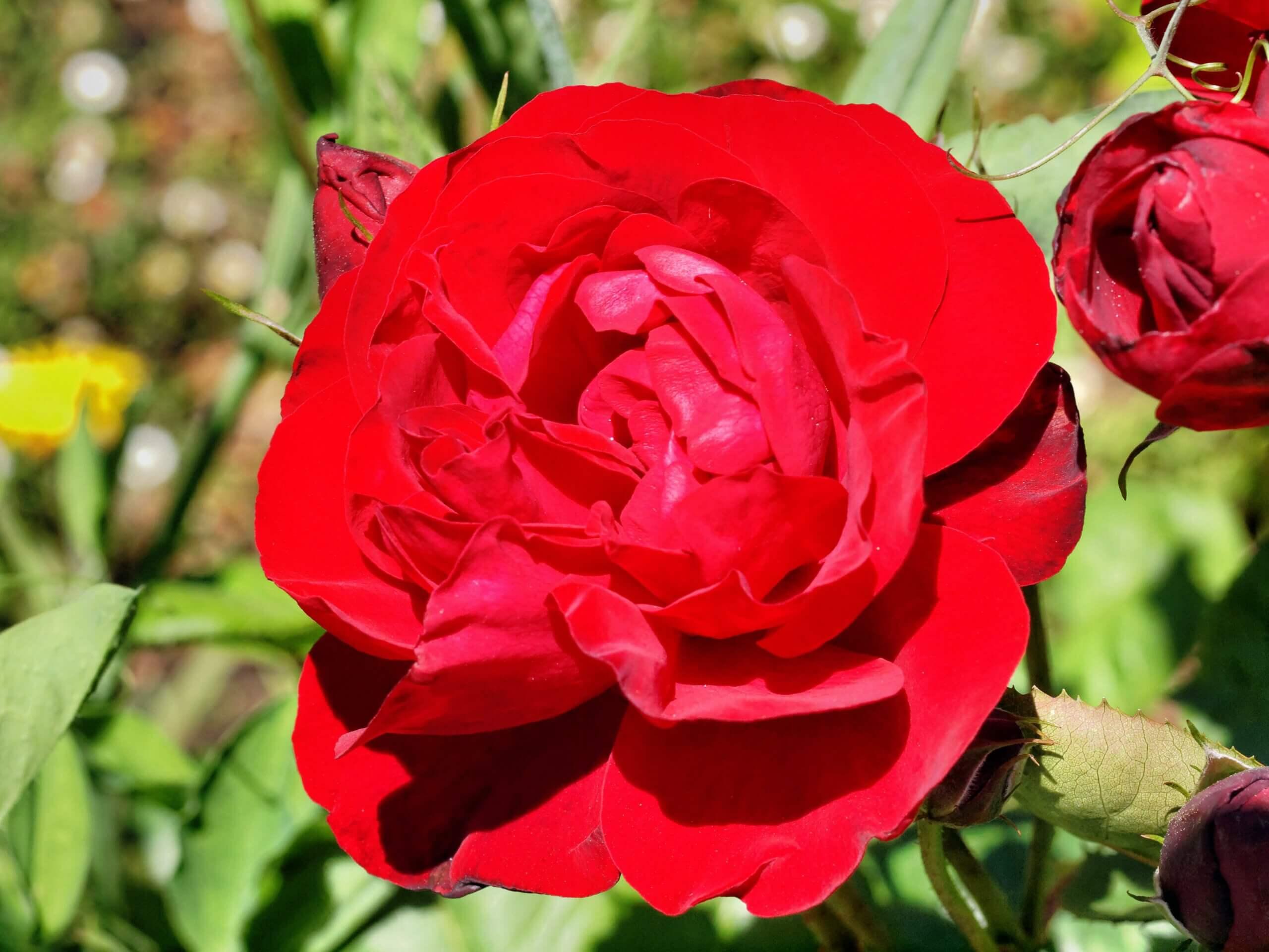 Lili Marlene – красивый сорт роз, отличающийся высокой устойчивостью к погодным условиям