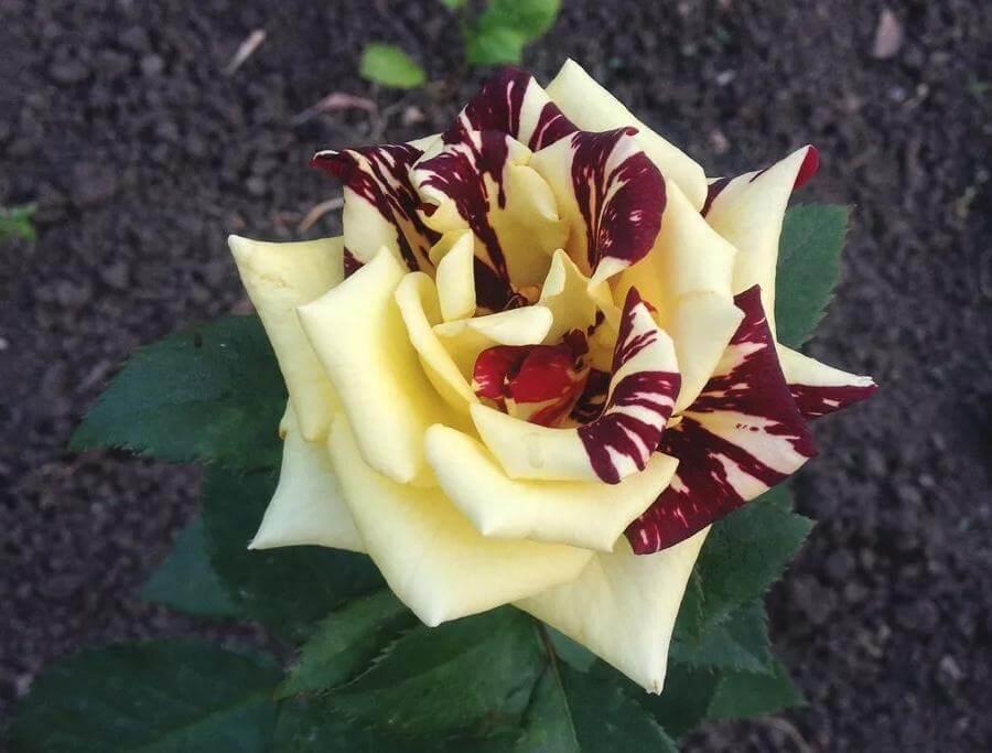 Роза Флорибунда Фокус Покус фото