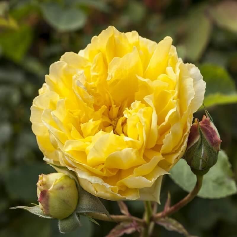 Голден гейт роза