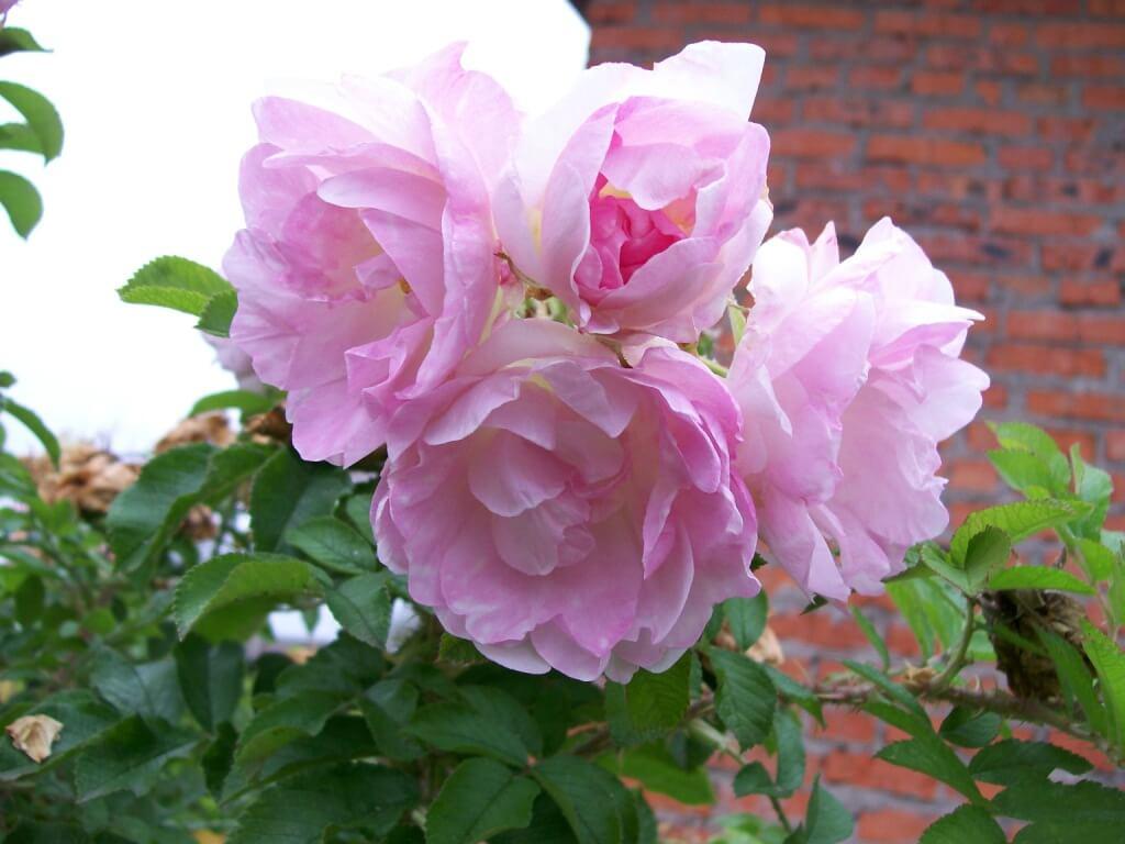 Роза Ритасума