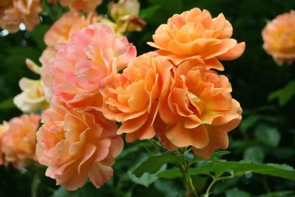 Westerland - плетистая роза-шраб от селекционера Кордес