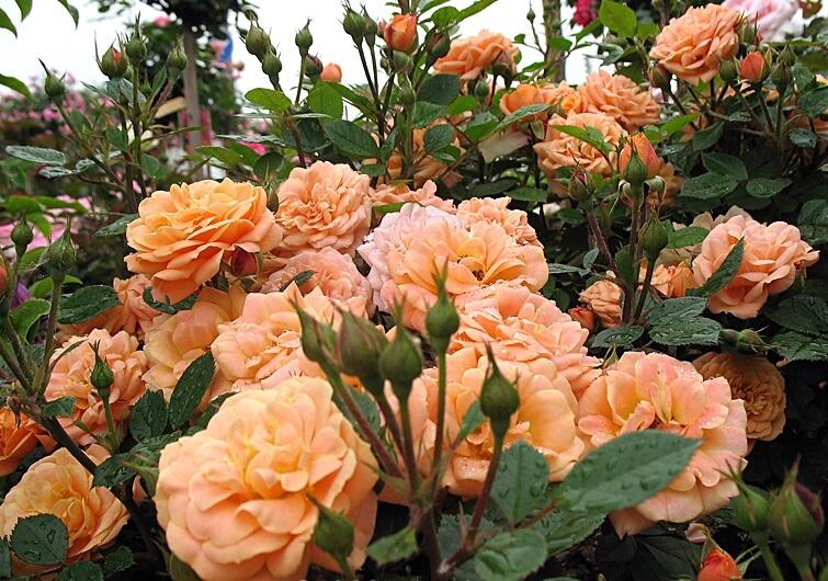 Apricot Clementine - миниатюрная патио роза из Германии