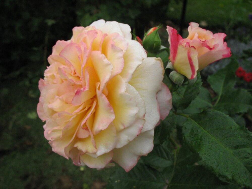 Rugelda - парковый сорт розы, меняющий цвет бутонов