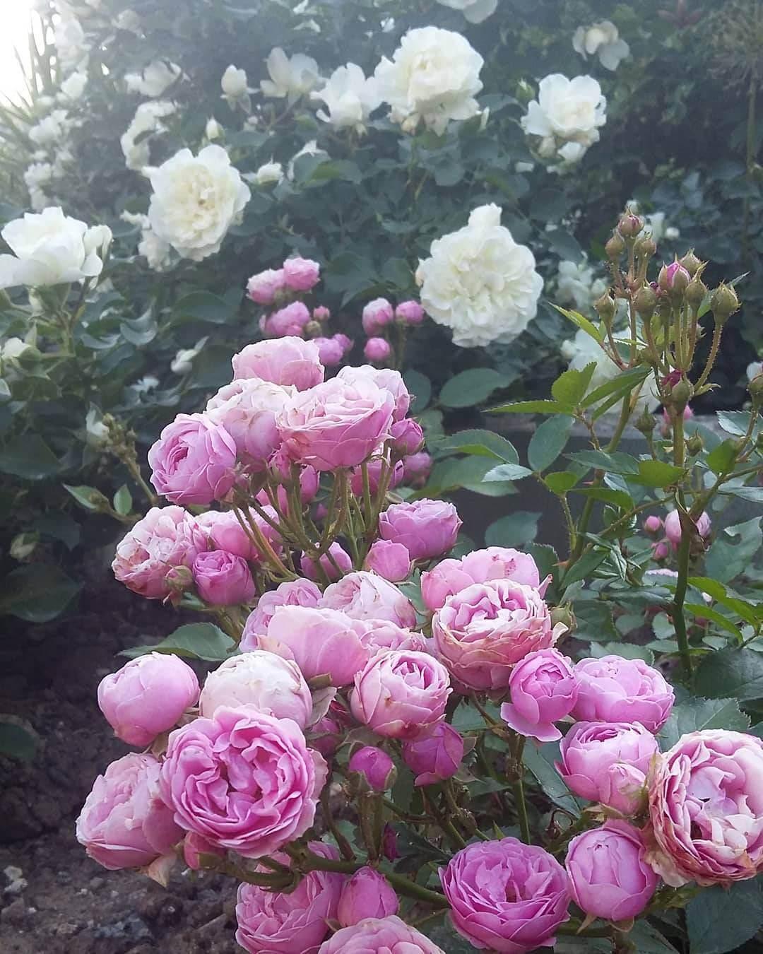 Как вырастить карликовые и почвопокровные розы