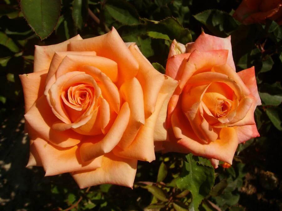 Импульс - чайно-гибридная роза насыщенного лососевого оттенка