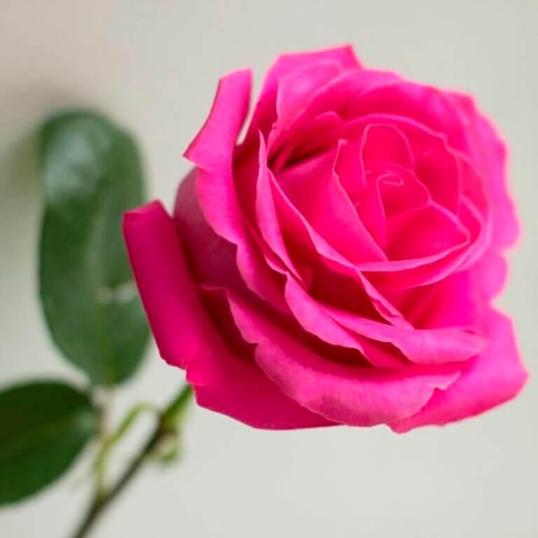Любимый цветок- Роза Pink Floyd
